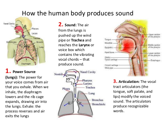 How voice is produced in human